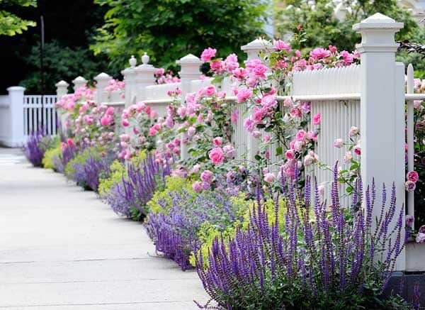 planting perennials along your picket fence can dress up your home's curb appeal & help keep the weeds down.