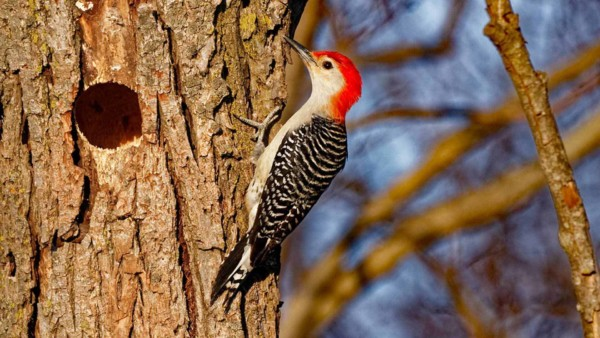 woodpecker sitting on tree, which is better than on your fascia board