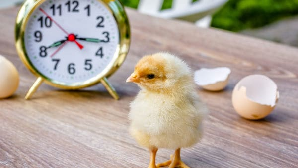 newborn chick just out of her eggshell, looking around